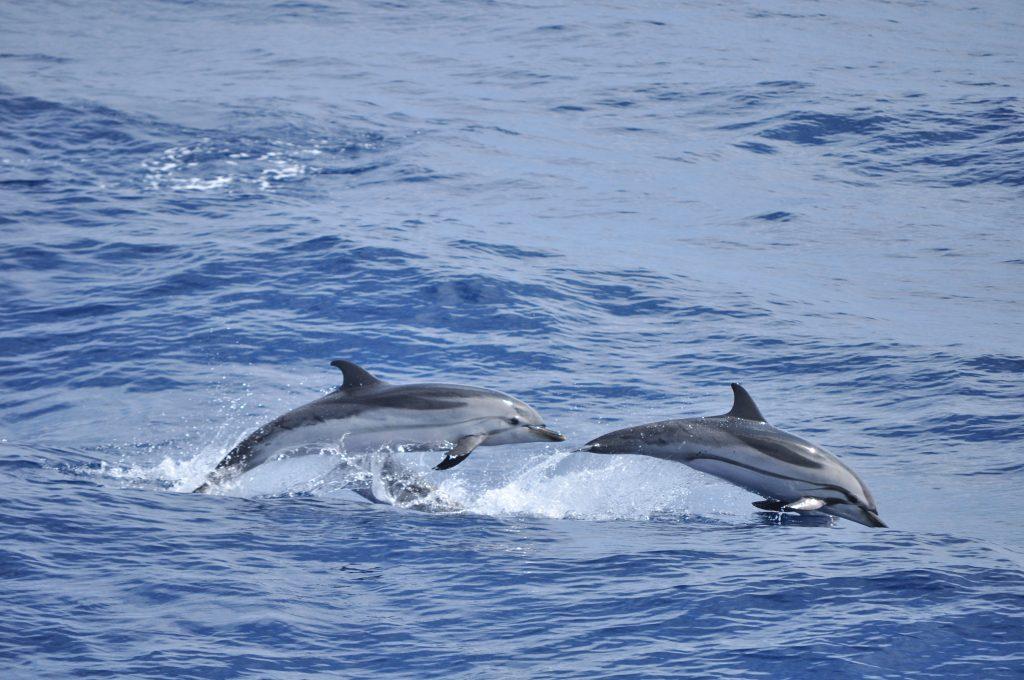 Dauphins bleu et blanc en Méditerranée